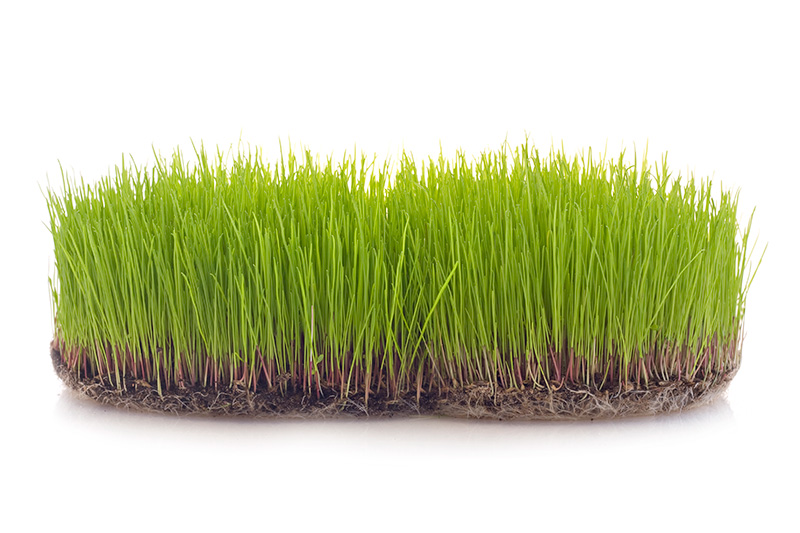 clump of grass on white background